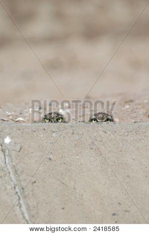 Burrowing Owl Eyes