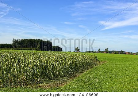 Hail damaged cornfield