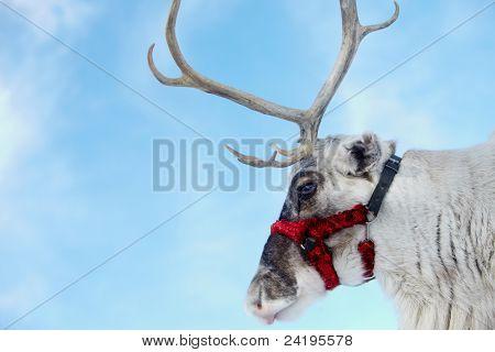 Side view of reindeer?s head