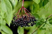 Ripe Berries Of Black Elderberry (sambucus) In Late Ripe Ripe Berries Of Black Elderberry (sambucus) poster