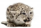 pic of panthera uncia  - Snow leopard - JPG