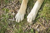 Focus On Foot Of Dog With Bright Fur. Pads Pair Of People Friend That Resting On Green Lawn. Cute An poster