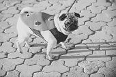 Dog Or Pugdog In Red Coat Walk On Pavement On Sunny Day Outdoor. Pet Fashion Concept. Friend, Compan poster