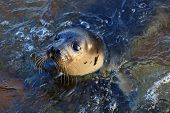 Close-up Seal Animal Baby Or Sea Lion. Swimming Atlantic Common Seal (phoca Vitulina). Sea Lion Look poster