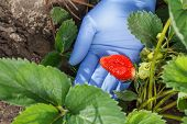 Female Gardener Is Holding Ripe Strawberry In Hand Dressed In Blue Latex Glove. Ripe And Unripe Stra poster
