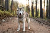 Portrait Of Cute Friendly Dog Breed Siberian Husky Standing In The Forest In The Spring Season At Su poster