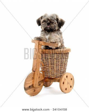 Shih Tzu And Wooden Trike