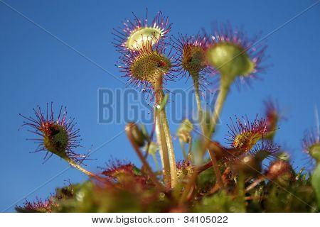 Common sundew - carnivorous plant