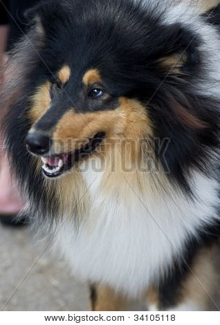 Beige, black and white Shetland Sheepdog photo for the design