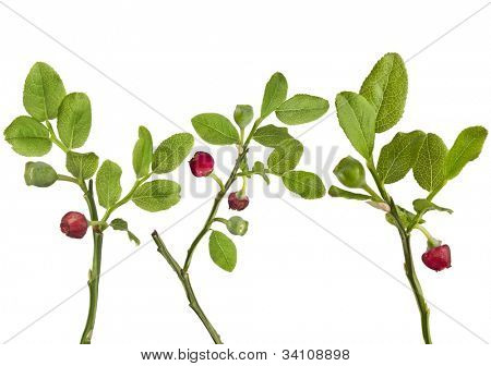 Forest blueberry plant blossoms  isolated over a white
