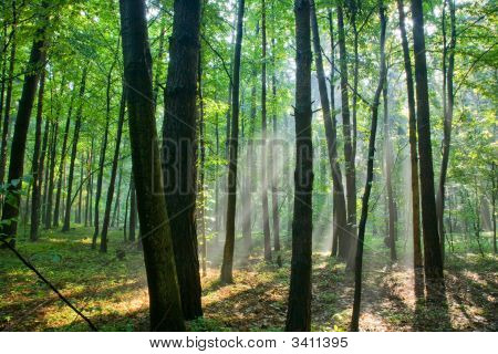 Foggy Young Forest At Morning