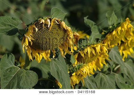 Withered sun flowers