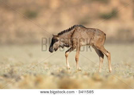 Blue Wildebeest Calf