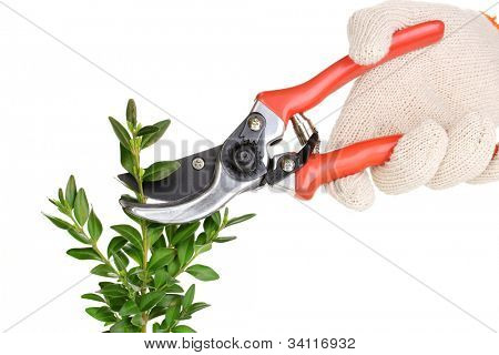 Trimming bush branch with pruner isolated on white