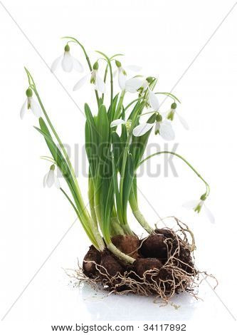 snowdrops with roots and soil isolated on white