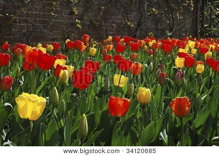 Flowerbed Of Tulips