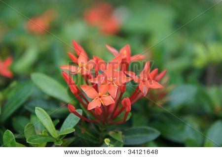 red ixora flower