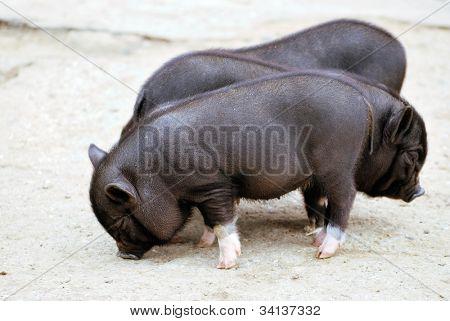 three black small pigs