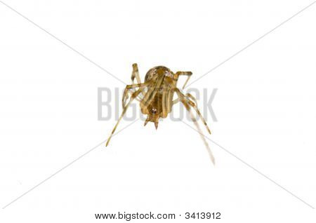 Isolated Striking Small Spider