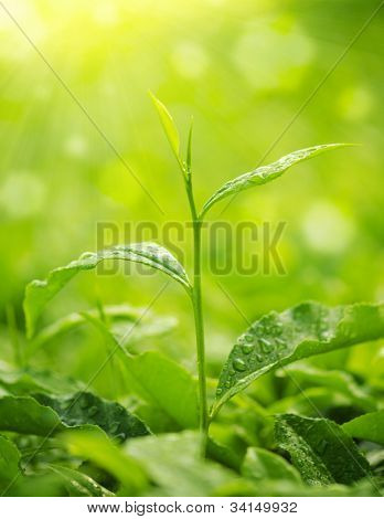 Tea Leaf with morning golden sunlight, water dews on leaf