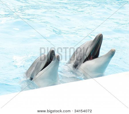 Two beautiful Dolphin swim in the blue blue pool