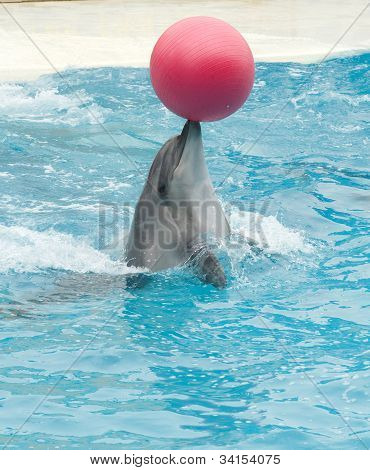 Beautiful Dolphin playing with the red ball in blue swimming pool