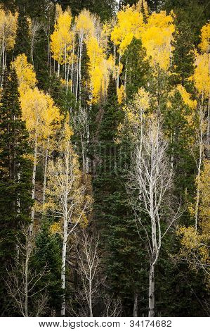Yellow aspen trees of the Grand Canyon.