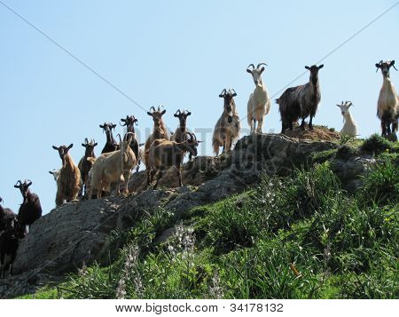 Goat herd of Corsica, France