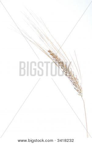 Wheat On White