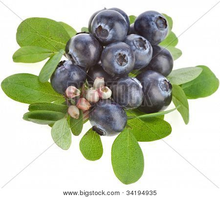 ripe blueberry blossoming isolated