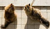 Lovely Cats Of Siberian Breed In A Garden, Purebred Feline Of Livestock poster