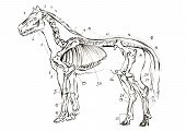 Graphite Naturalistic Biology Horse Illustration. Animal Bones Drawn With Pencil. Scince, Zoology poster