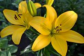 Asiatic Hybrid Lily Bright Yellow Flower. Clear Yellow Gironde Lily Or Lemon Yellow Lilium Butter Pi poster