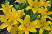 Asiatic Hybrid Lily Texture. Clear Yellow Gironde Lily Or Lemon Yellow Lilium Butter Pixie, Gorgeous poster