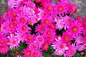Purple Chrysanthemums In Nursery And Garden Shop. Chrysanthemums Bouquet, Wallpaper And Decoration.  poster