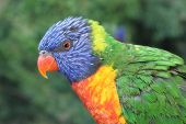 stock photo of lorikeets  - Colorful lorikeet - JPG