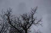 A Tree Branches On The Grey Sky. A Winter Day. A Mainly Cloudy Day.  Ukraine. Looking Up To Grey Sky poster