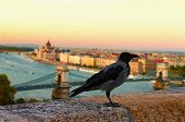 A Big Carrion Crow Sits On The Parapet. Blurred Cityscape Of Budapest In The Background. Autumn Even poster