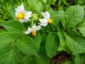 Flowering Potato. Potato Flowers Blossom In Sunlight Grow In Plant. White Blooming Potato Flower On  poster