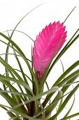 image of tillandsia  - tillandsia flower - JPG
