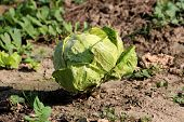 Cabbage Or Headed Cabbage Leafy Light Green Annual Vegetable Crop Fully Formed In Form Of Cabbage He poster