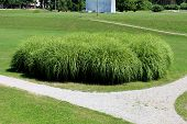 Large Densely Growing Bush Like Ornamental Grass Planted In Local Public Park Surrounded With Freshl poster