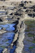 foto of curio  - Petrified trees at Curio Bay in New Zealand - JPG