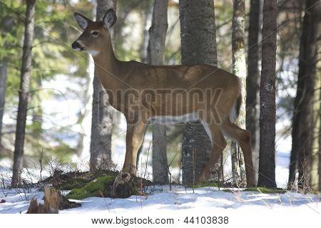 Whitetails Deer