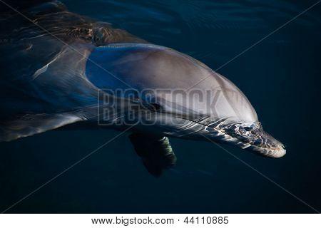 Deep Blue Dolphin