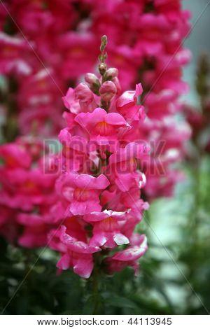 Beautiful Snapdragon Flowers AKA variegated antirrhinum.