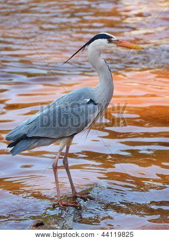 Adult Grey Heron (Ardea cinerea)