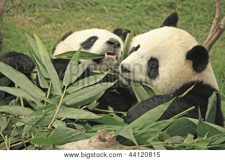 Giant Panda Bears (ailuropoda Melanoleuca), China