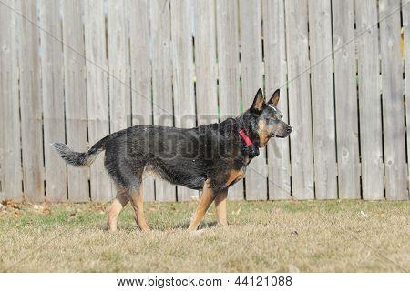 Australian Cattle Dog in yard