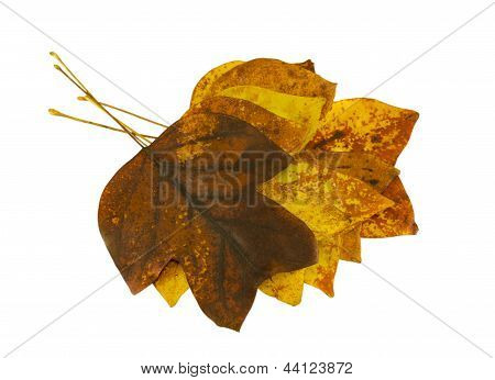 Brightly Tulip Tree Leaves Lay On Top Each Other